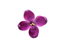 Uma flor lilás imagens de stock royalty free