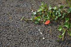 Uma flor minúscula da papoila Imagem de Stock Royalty Free
