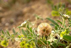 Uma flor pequena curiosa, almofadas de alfinetes da flor da estrela fotografia de stock royalty free