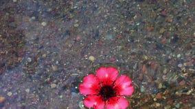 Uma flor que flutua no rio. (Agua potável no rio) vídeos de arquivo
