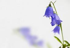 Uma flor roxa com calyxes imagem de stock royalty free