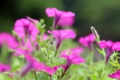Uma flor roxa de florescência da corriola Fotos de Stock Royalty Free