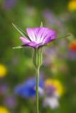Uma flor roxa do verão Foto de Stock Royalty Free