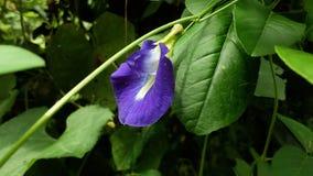 Uma flor roxa junto com a folha verde, beleza da natureza imagem de stock royalty free