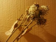 Uma flor seca da bardana imagem de stock