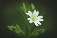 Uma flor selvagem bonita Fotografia de Stock