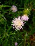 Uma flor selvagem roxa Fotos de Stock Royalty Free