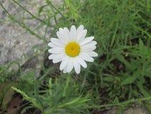 Uma flor solitária bonita Foto de Stock Royalty Free