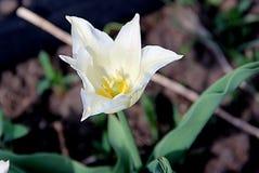 Uma flor surpreendente com núcleo branco e amarelo delicado imagem de stock