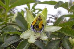 Uma flor surpreendente que dissolva suas folhas, visitada por um inseto imagem de stock