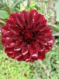 Uma flor vermelha após alguma chuva foto de stock