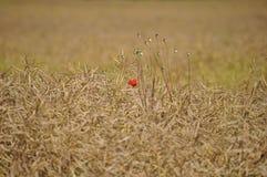 Uma flor vermelha apenas no campo imagem de stock