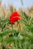 Uma flor vermelha da papoila em um close-up do campo de trigo Foto de Stock Royalty Free