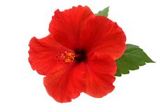 Uma flor vermelha do hibiscus Foto de Stock Royalty Free