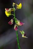 Uma flor vermelha e amarela de Rattlepod Fotografia de Stock
