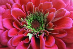 Uma flor vermelha florescida bonita do Zinnia Foto de Stock