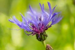 Uma flor violeta bonita Imagem de Stock Royalty Free