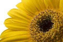 Uma florescência amarela brilhante vibrante da flor da margarida do gerbera Fotografia de Stock Royalty Free