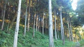Uma floresta agradável do cedro japonês Imagens de Stock Royalty Free