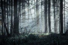 Uma floresta belamente temperamental com os feixes do sol que vêm através das árvores em um dia de invernos enevoado fotografia de stock royalty free