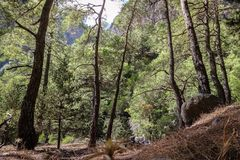 uma floresta bonita com pinhos raros, um bom lugar do pinho para caminhadas Fotografia de Stock Royalty Free