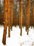 Uma floresta da árvore de pinho do inverno Fotos de Stock