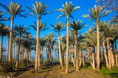 Uma floresta das palmeiras Foto de Stock