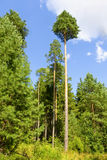 Uma floresta de árvores de pinho fotos de stock royalty free