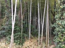 Uma floresta de bambu Imagem de Stock