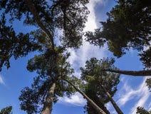 Uma floresta do pinho fotos de stock