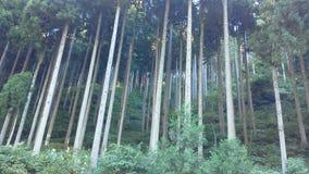 Uma floresta fresca do cedro japonês Foto de Stock