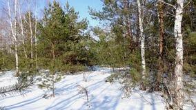 Uma floresta nova do pinho-vidoeiro na luz solar foto de stock