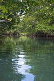 Uma floresta sereno dos manguezais fotografia de stock royalty free