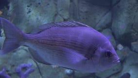 Uma flutuação roxa dos peixes vídeos de arquivo