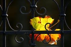 Uma folha amarela furou na cerca preta Imagens de Stock