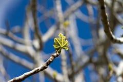 Uma folha da árvore de figo fotos de stock