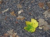 Uma folha da árvore do sicômoro no asfalto no outono fotos de stock