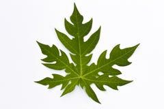 Uma folha da papaia Fotografia de Stock Royalty Free