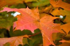 Uma folha de bordo bonita em uma árvore de máscaras diferentes do outono Imagem de Stock