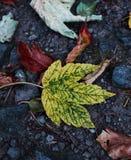 Uma folha de bordo do verde amarelo outono imagens de stock royalty free