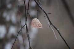 Uma folha do carvalho marrom em um ramo, coberto com a geada a neve nas folhas fotografia de stock