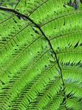 Uma folha perfeita do fern Imagem de Stock