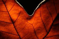 Uma folha platan Fotos de Stock