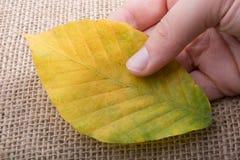 Uma folha seca separada disponivel Fotografia de Stock Royalty Free