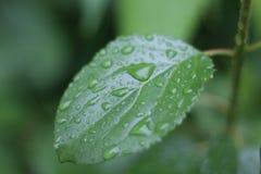 Uma folha solitária que recolhe pingos de chuva não está sozinha de todo Fotografia de Stock