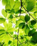 Uma folha verde Imagem de Stock