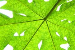 Uma folha verde da papaia no fundo branco imagem de stock
