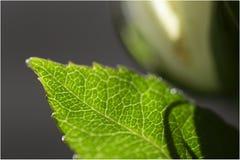 Uma folha verde de uma rosa foto de stock royalty free