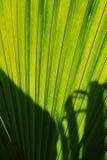 Uma folha verde grande Fotografia de Stock Royalty Free