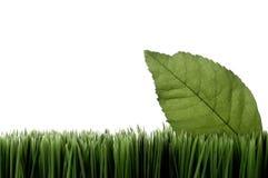 Uma folha verde na grama no branco foto de stock royalty free
